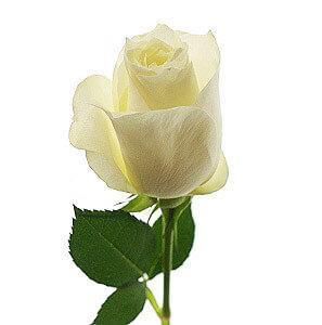Baltos rožės - Gėlės į namus Vilniuje