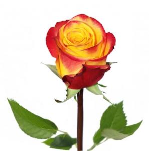 Dvispalvės rožės - Gėlės į namus Vilniuje