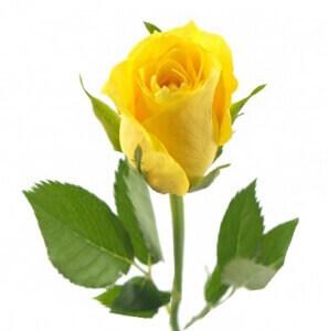 Geltonos rožės - Gėlės į namus Vilniuje