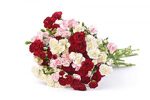 Gvazdikėliai MIX (smulkūs) - Gėlių fėja - Gėlių pristatymas į namus