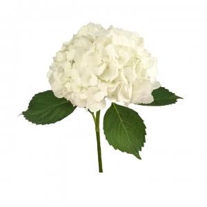 Hortenzija balta - Gėlių pristatymas į namus Klaipėdoje