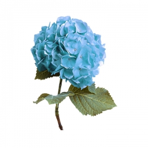 Hortenzija melsva - Gėlių pristatymas į namus Klaipėdoje