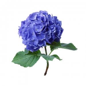 Hortenzija mėlyna - Gėlių pristatymas į namus Klaipėdoje