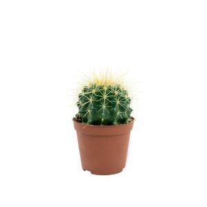 Kaktusas iki 10cm