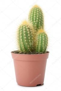 Kaktusas nuo 10cm iki 20cm - Gėlės į namus Raseiniai