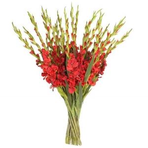Raudonos gladiolės (Kardeliai)