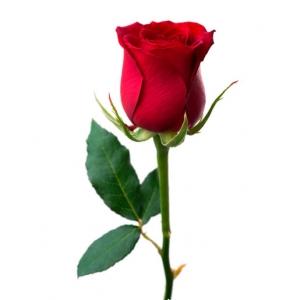 Raudonos rožės - Gėlių pristatymas į namus Vilniuje