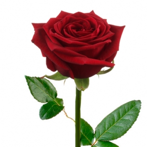 Raudona Rožė 80-90 cm - Gėlių fėja - Gėlių pristatymas į namus